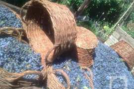 Živan (Beograd): Oplenačka berba grožđa