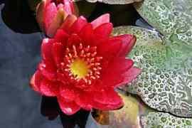 Crveni lotos – budistički simbol ljubavi i saosećanja