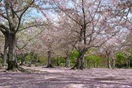 Sakura – simbol Japana
