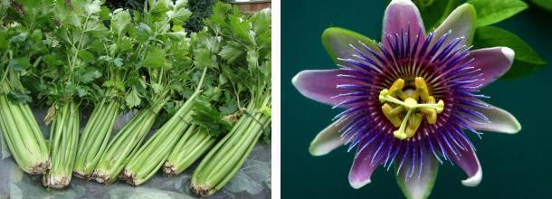 Celer (levo) i Hristov venac (desno)