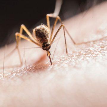 Najezda komaraca od kojih neki prenose viruse