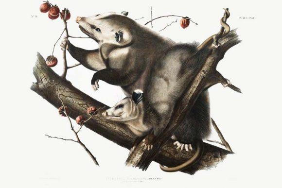 Šta nas oposumi mogu naučiti o starenju?
