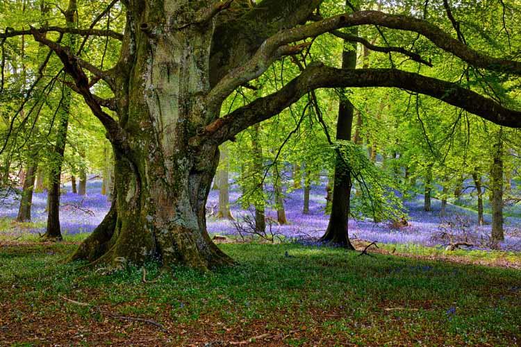 priroda staro drvo hrast šuma